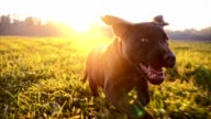 SLO MO Labrador puppy running in grass at dawn video