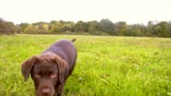 SLO MO Labrador puppy running in grass video
