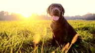 SLO MO Labrador puppy sitting in grass at dawn video