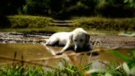 Labrador Retriever Laying In Mud video