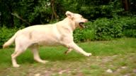 SLO MO Labrador retriever running along the forest video