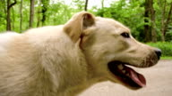 SLO MO Labrador retriever running on a road through forest video