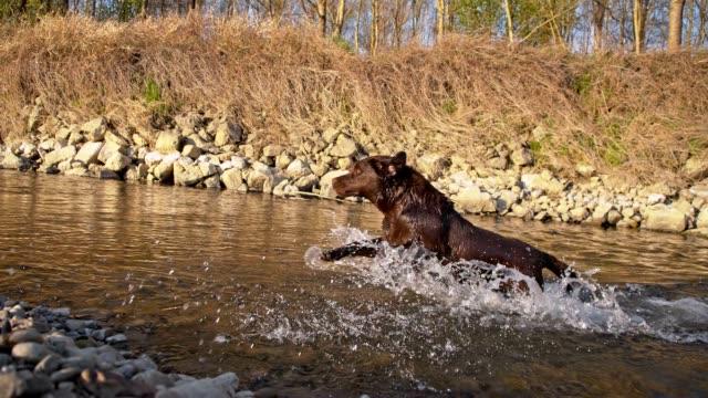 SLO MO Labrador running through the stream video