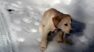 Labrador taking a dump video