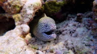 Laced moray in a coral cave on Maldives video