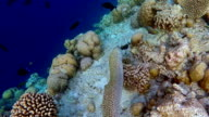 Laced moray swims on coral reef - Maldives video