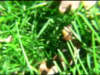 Lady Bugs in Grass NTSC video