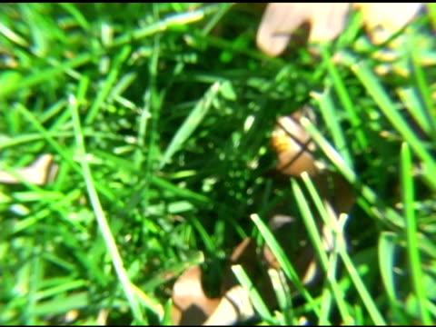 Lady Bugs in Grass NTSC video