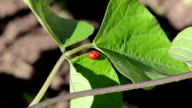 ladybird bean leaf video