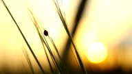 Ladybird Crawls Through the Grass at Sunset video
