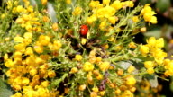Ladybird on flowering shrub. video
