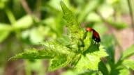 Ladybird. video