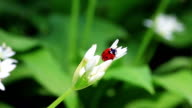 Ladybug close up video