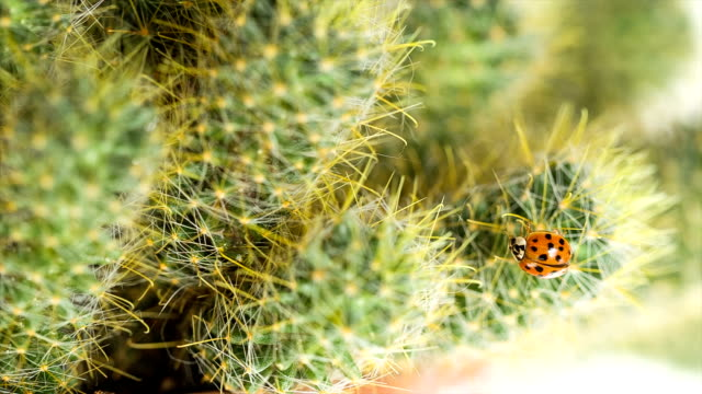 Ladybug creeps on the cactus. video