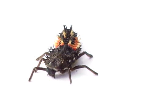 Ladybug larva PAL video
