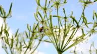 Ladybug on a flower. video