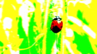 Ladybug on a grass video