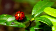 ladybug on a leaf video