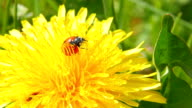 Ladybug on dandelion video