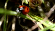 Ladybug on grass video