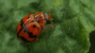 Ladybug on green leaf video