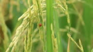 Ladybug on green rice video