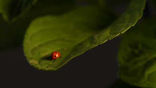Ladybug on Leaf video