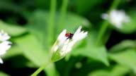 Ladybug on ramson video