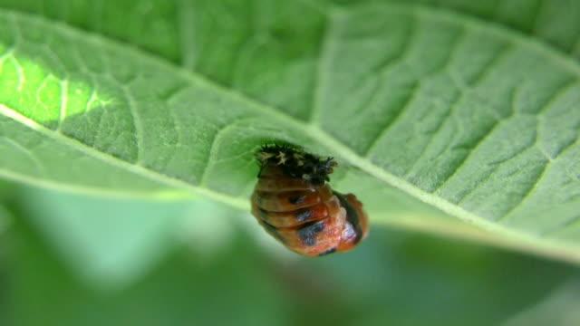 Ladybug Pupa Larva (HD Macro) video