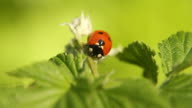 Ladybug sitting on a plant - HD, NTSC video