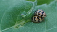 Ladybugs Mating video