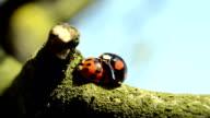 Ladybugs mating video