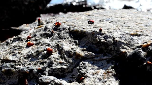 Ladybugs on a stone video