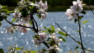 Lake and wild rose video