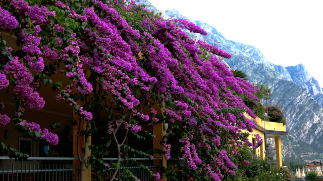 Lake Garda, Pink flowers and the mountain in the background video