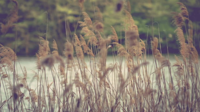 Lake on evening, the Reeds. Bronze feather swaying in wind. video