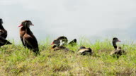 Lakeside Black-bellied Whistling ducks with Anhinga video