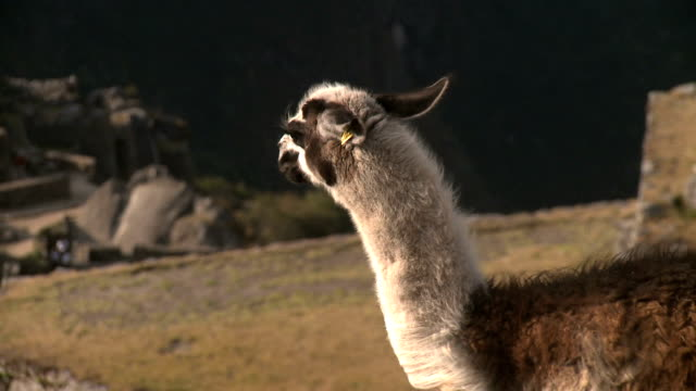 Lama of Machu Picchu video