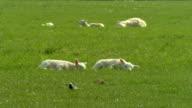 Lamb laying on grass field video