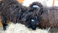 Lambs in a den. Lviv, Ukraine. video