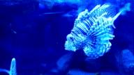 Lancetfish (Alepisaurus) in aquarium video
