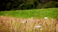 Landscape in high mountains - dry grass waving on wind video