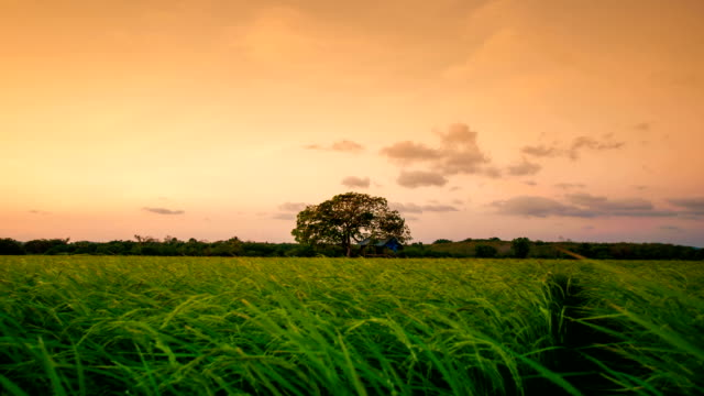 Landscape of a beautiful green field with rice video