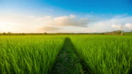 4K : Landscape of a beautiful green field with rice video