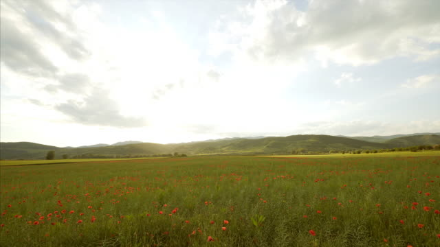 Landscape of a field full of poppies. video