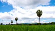 Landscape sugar palm tree on green rice fields and blue sky. Time lapse. video