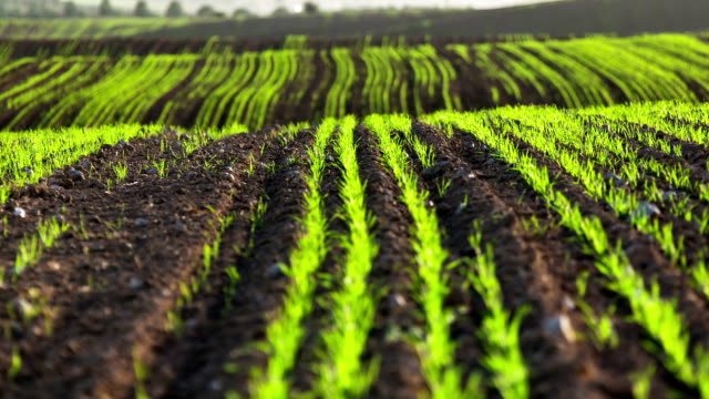landscape the field planted with agricultural crops video