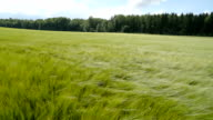 Landscape view of the green barleys video