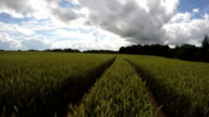 Landscape with green ripening wheat field, time lapse video