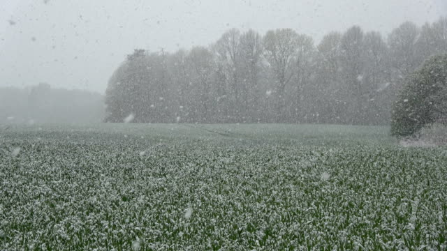landscape with spring snowfall  on green young wheat field video